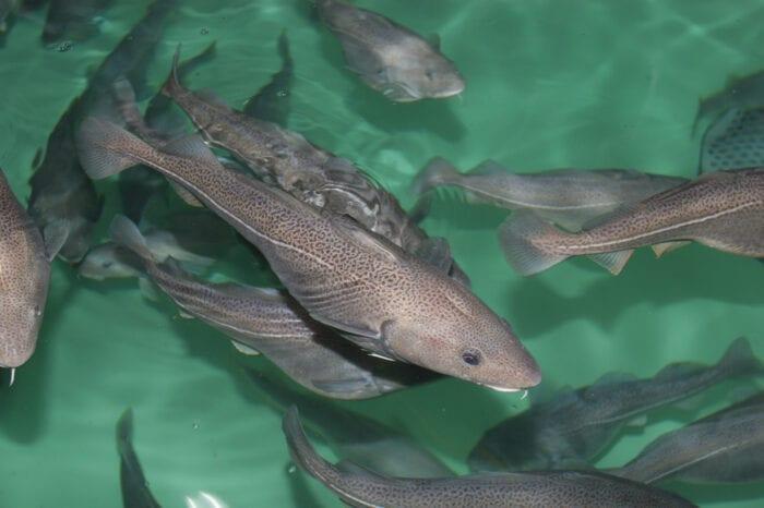 Nasjonal avlsstasjon for torsk