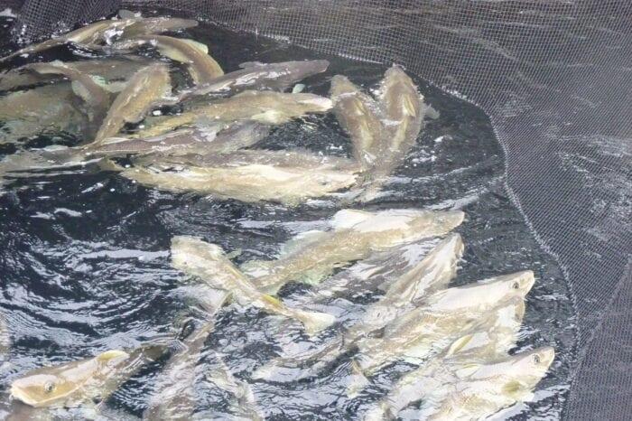 torsk i merd