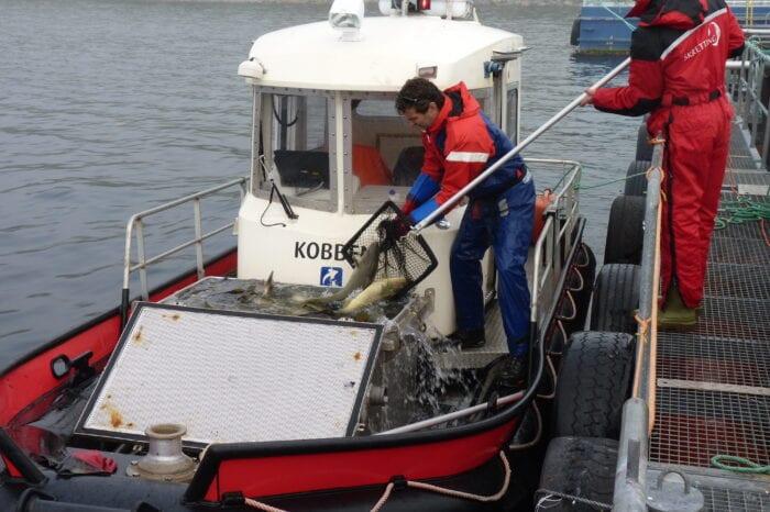håving av torsk